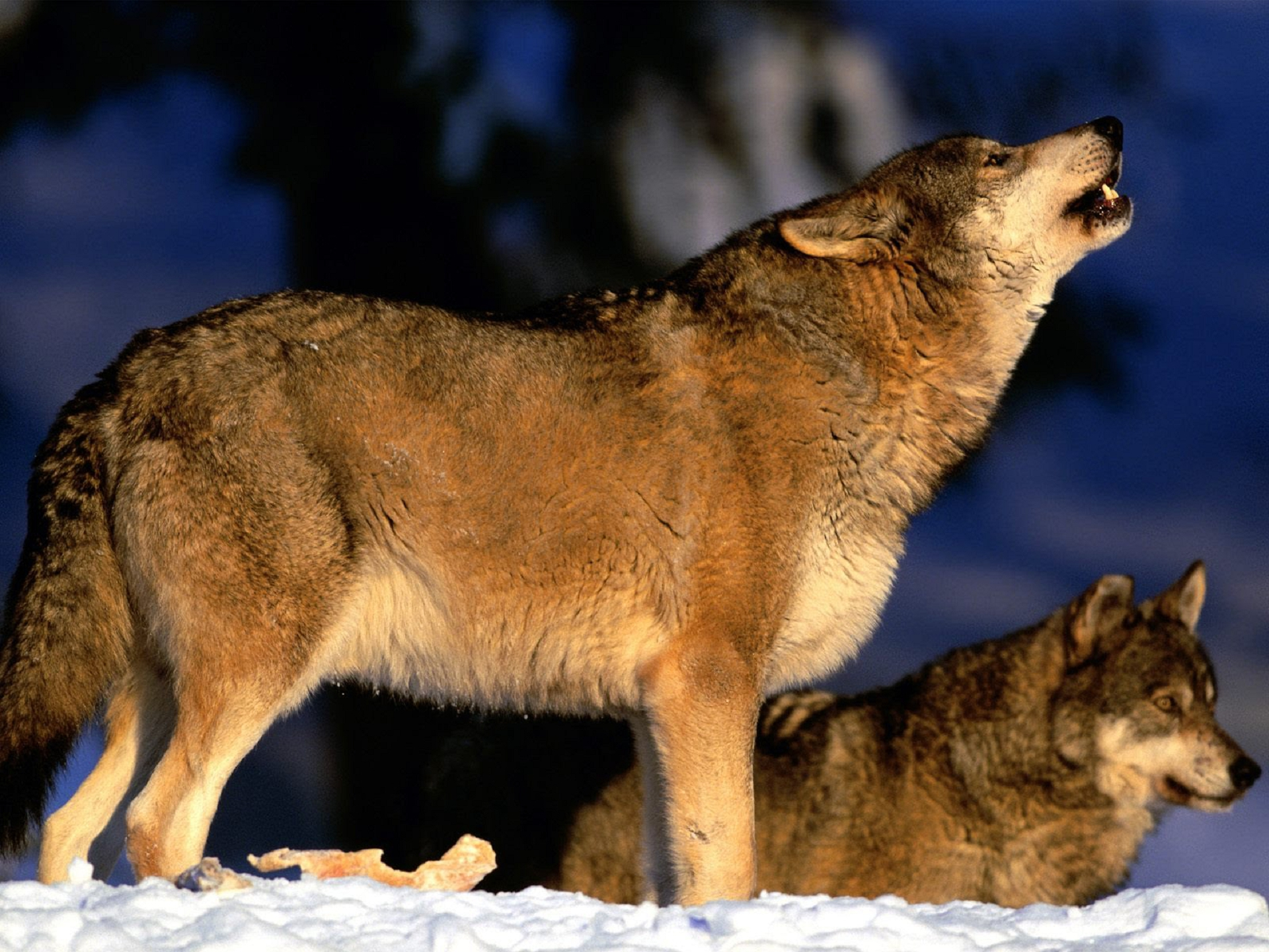 Red Wolf Background