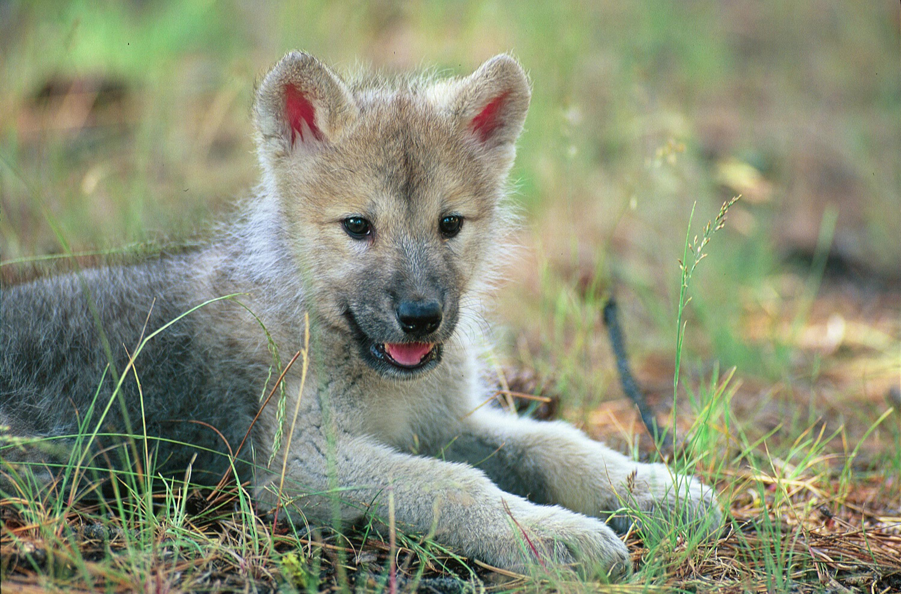 Red Wolf Computer Backgrounds