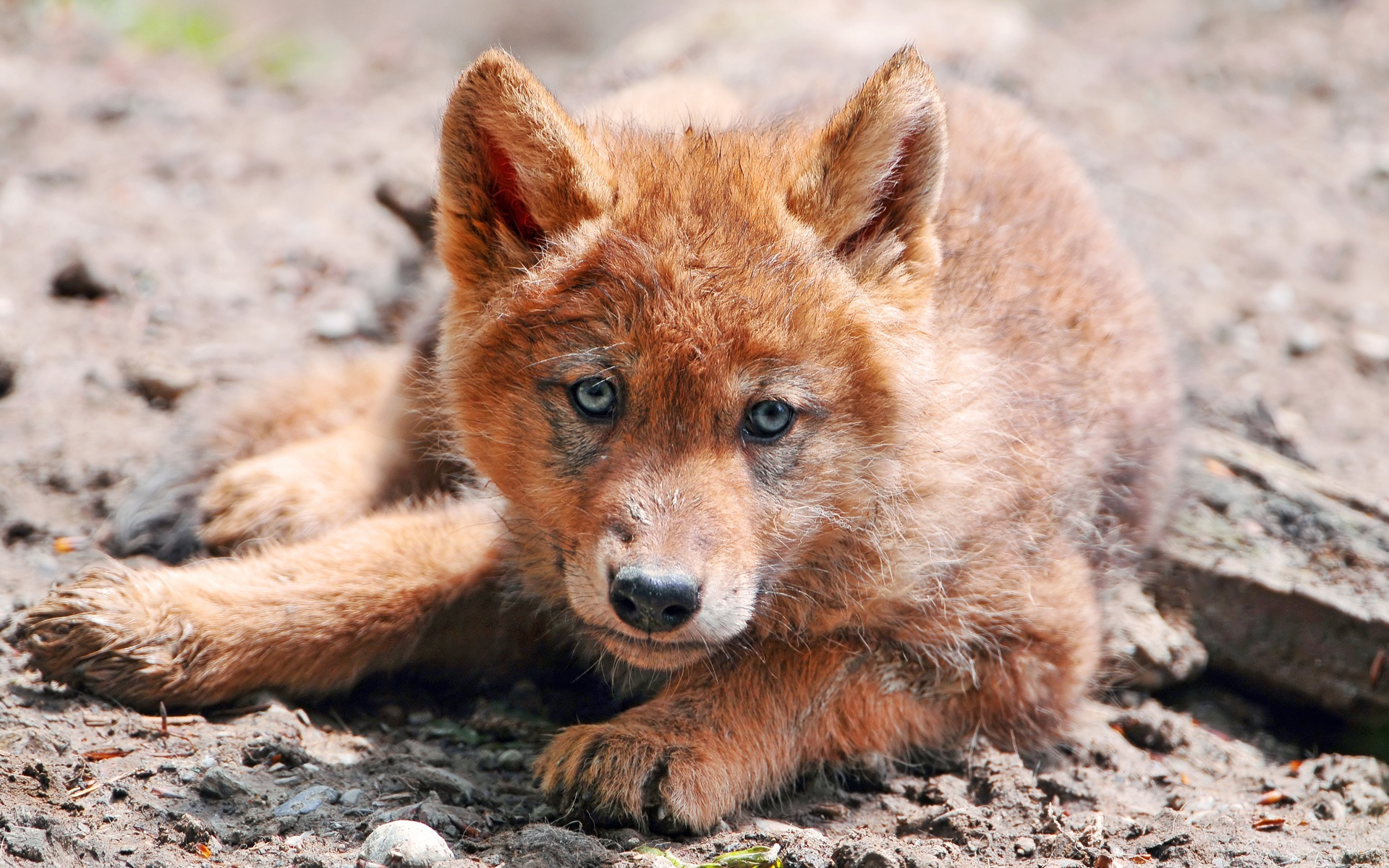 Red Wolf Hd Wallpaper