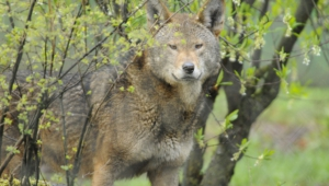Red Wolf High Definition
