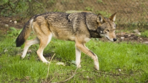 Red Wolf High Definition Wallpapers