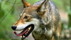 Red Wolf For Desktop