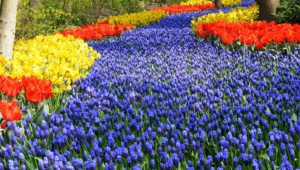 River Of Flowers Keukenhof Hd Background