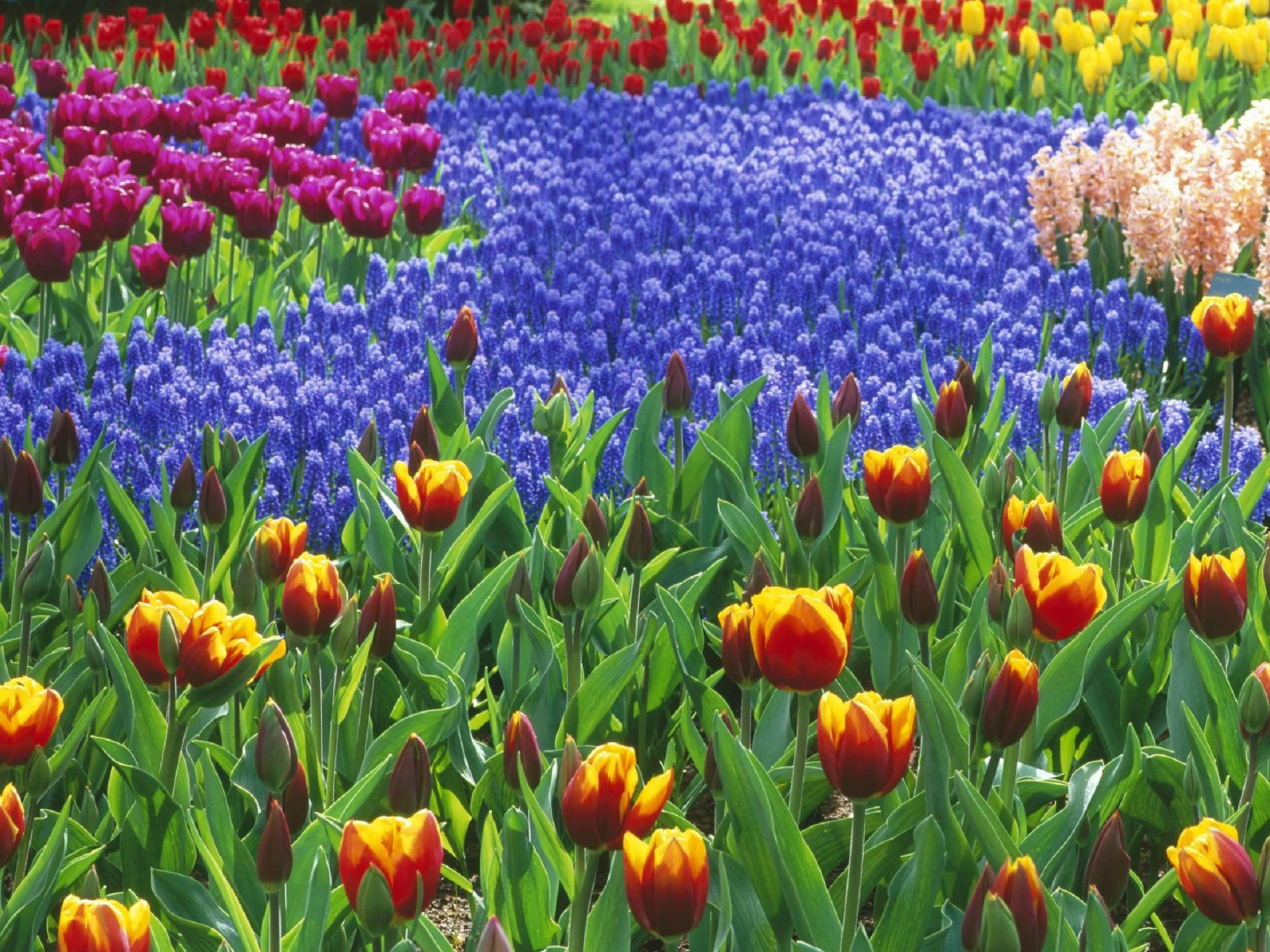 River Of Flowers Keukenhof Hd