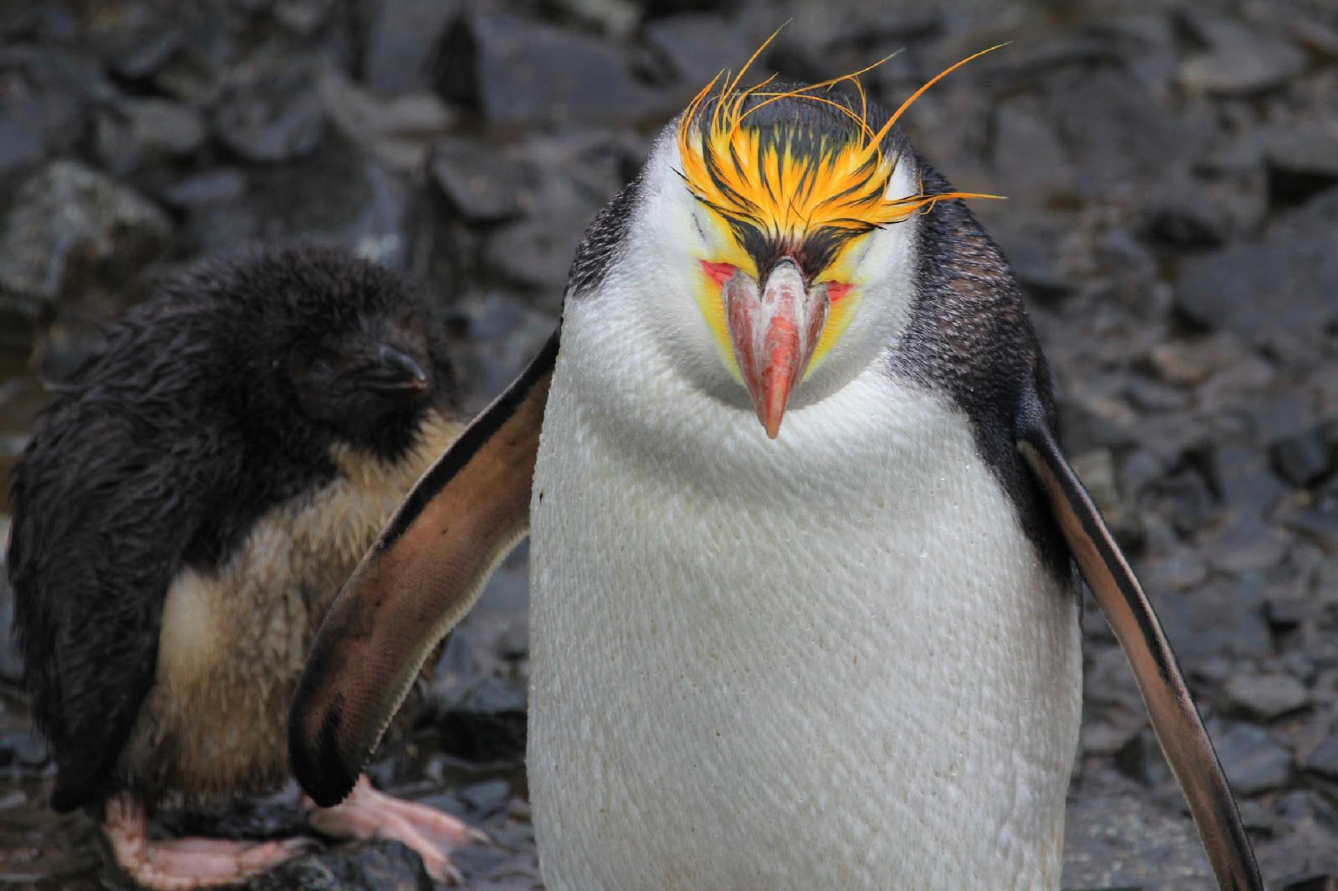 Royal Penguin 4k