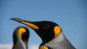 Royal Penguin Background