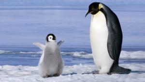 Royal Penguin Hd
