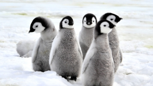 Royal Penguin Hd Background