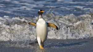 Royal Penguin High Quality Wallpapers