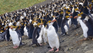 Royal Penguin Images