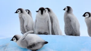 Royal Penguin Pictures
