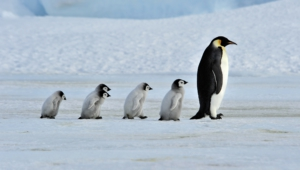Royal Penguin Wallpapers Hd
