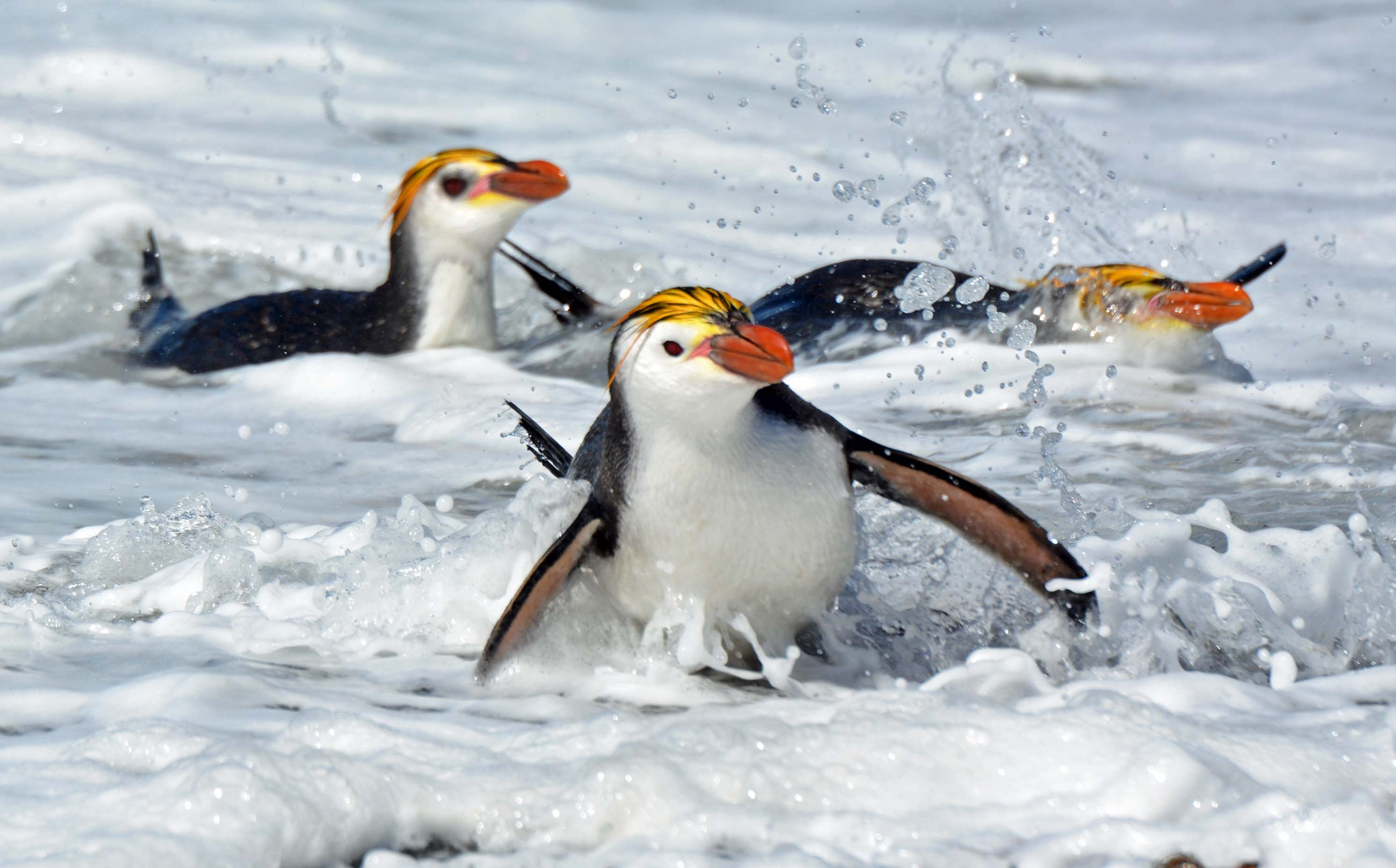 Royal Penguin Wallpapers