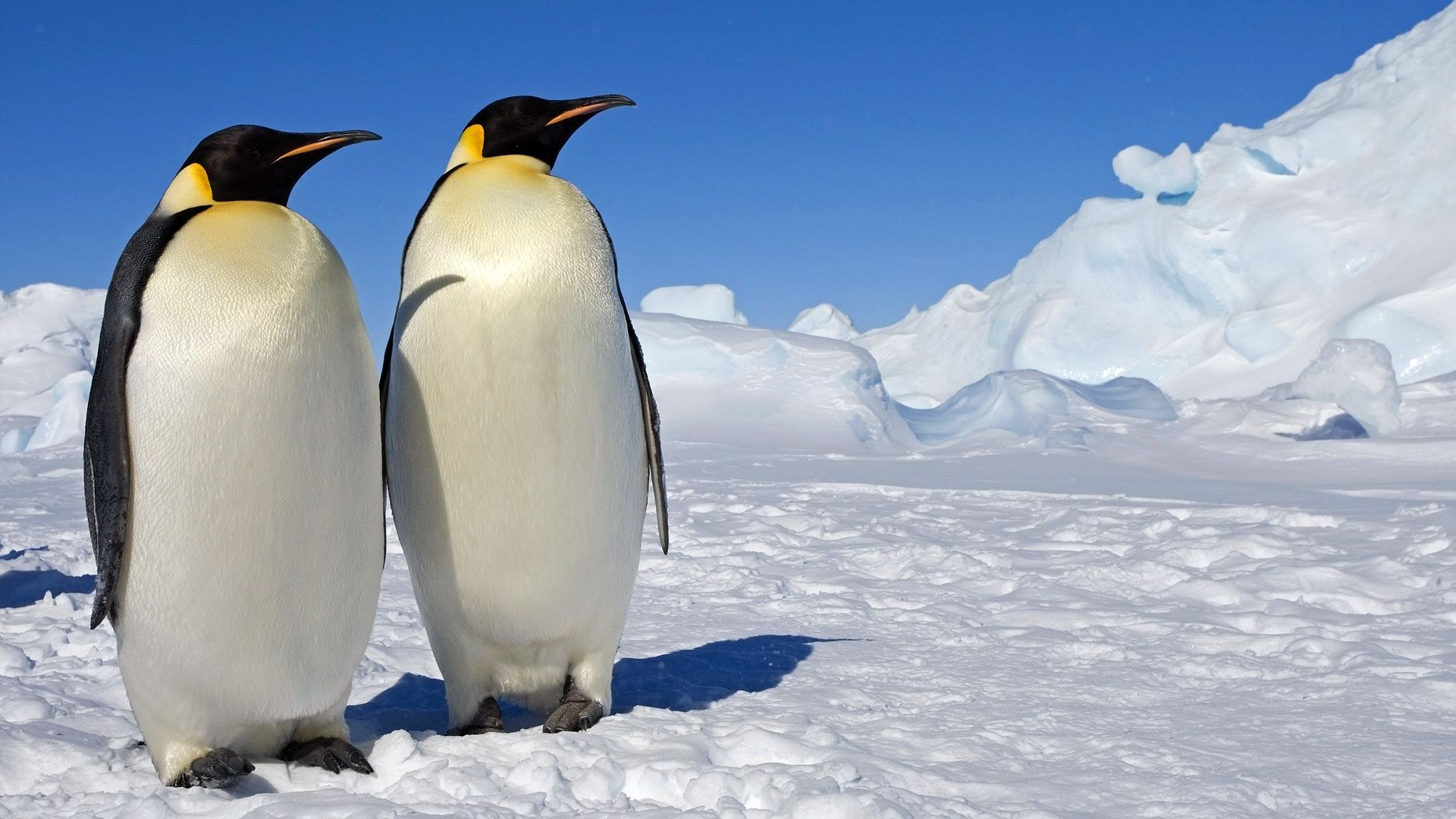 Royal Penguin Widescreen