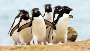 Royal Penguin Full Hd