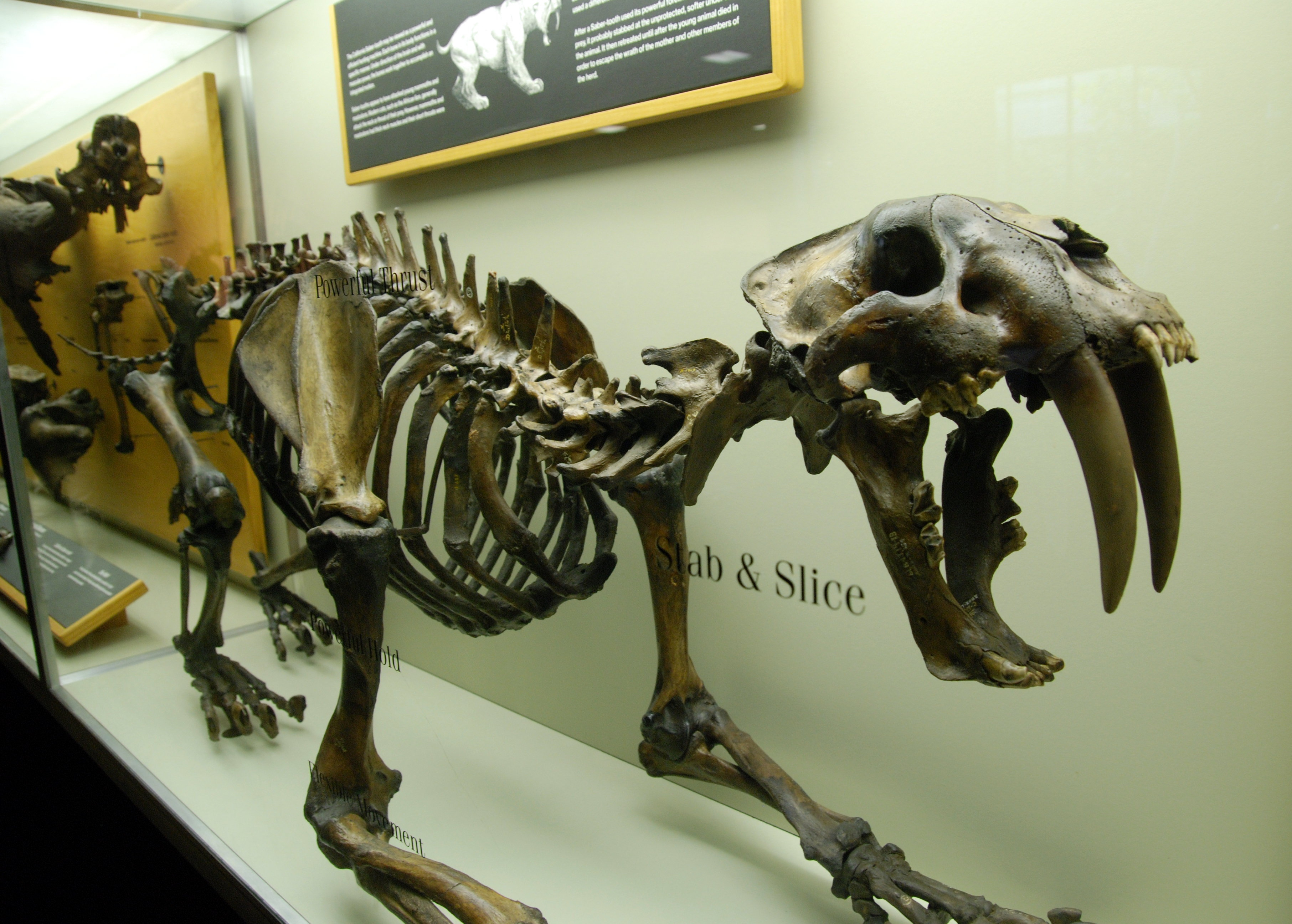 Sabre Toothed Tiger High Definition Wallpapers