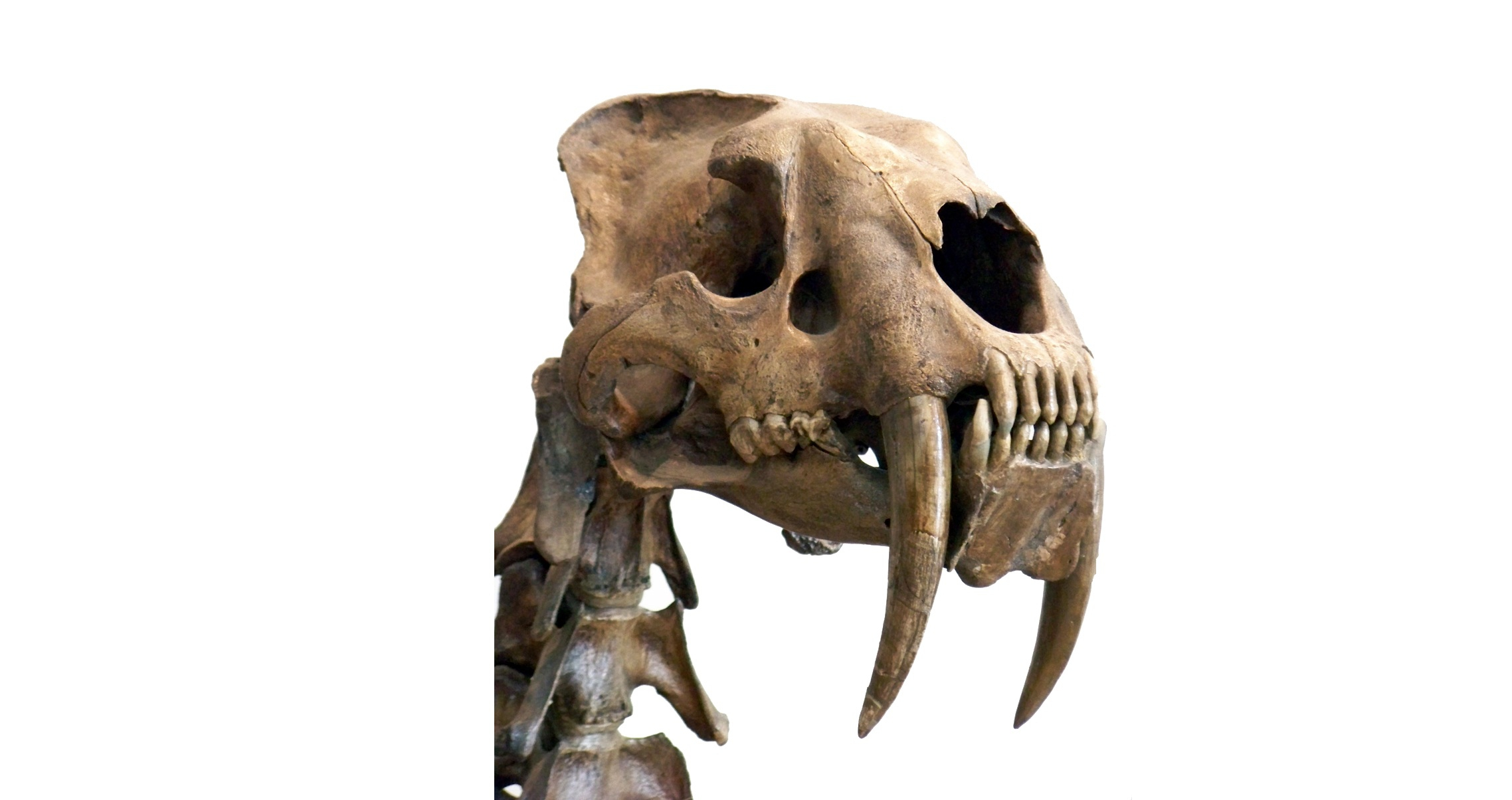 Sabre Toothed Tiger Widescreen