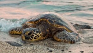 Sea Turtle High Definition