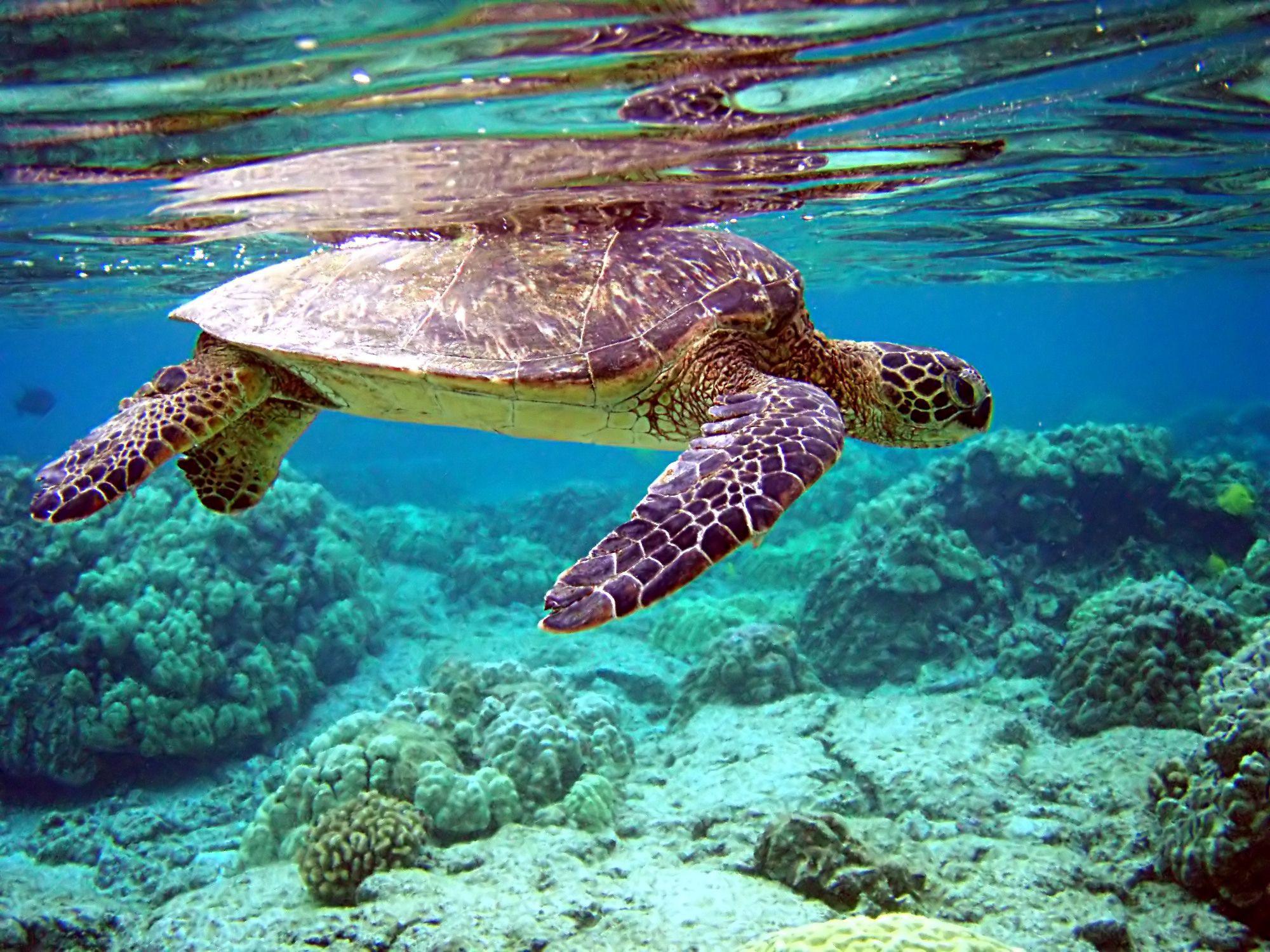 Sea Turtle Wallpaper For Computer