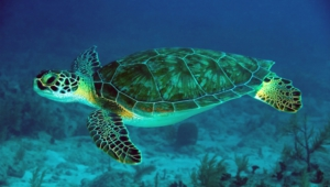 Sea Turtle Wallpapers Hd