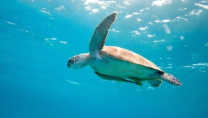 Sea Turtle Wallpapers Hq