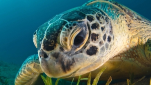Sea Turtle Widescreen