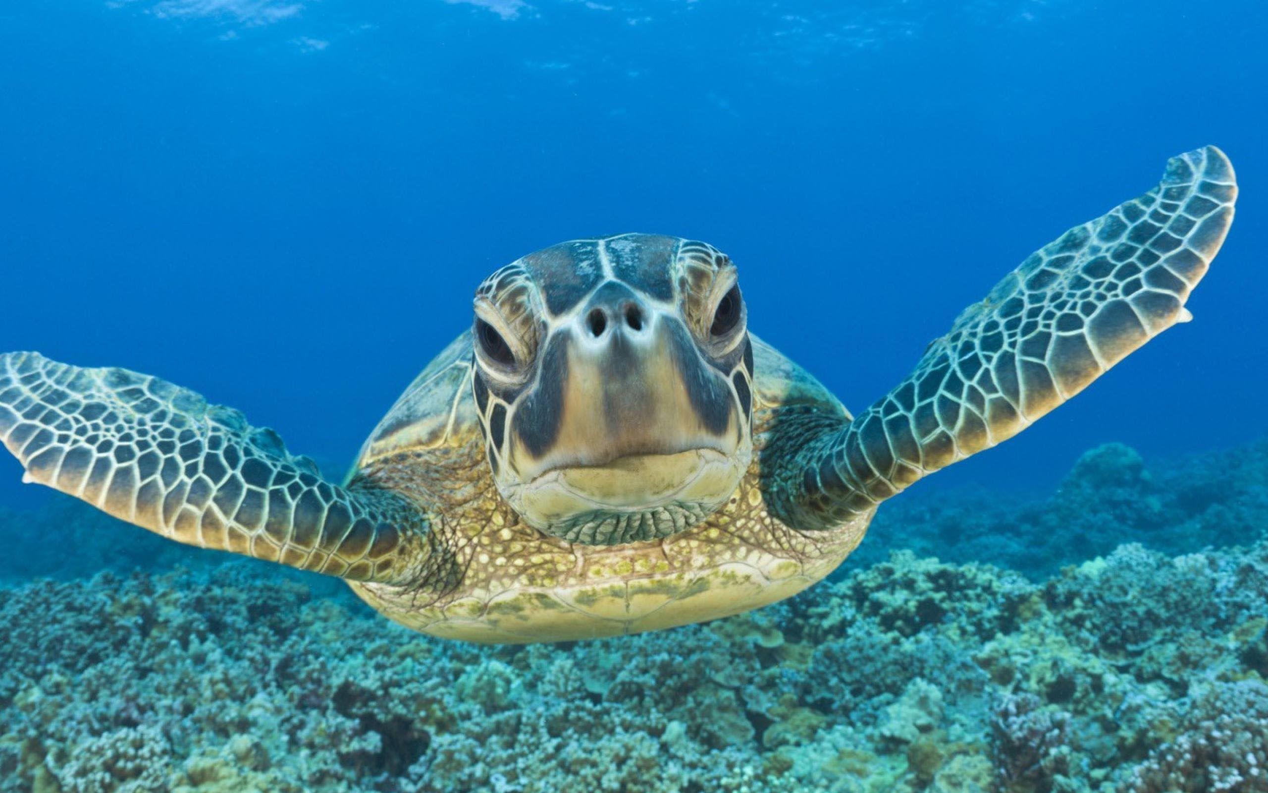 Sea Turtle For Desktop
