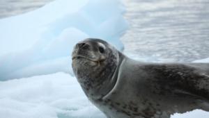 Seal Wallpaper For Laptop
