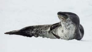 Seal Widescreen