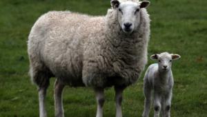 Sheep Desktop Wallpaper
