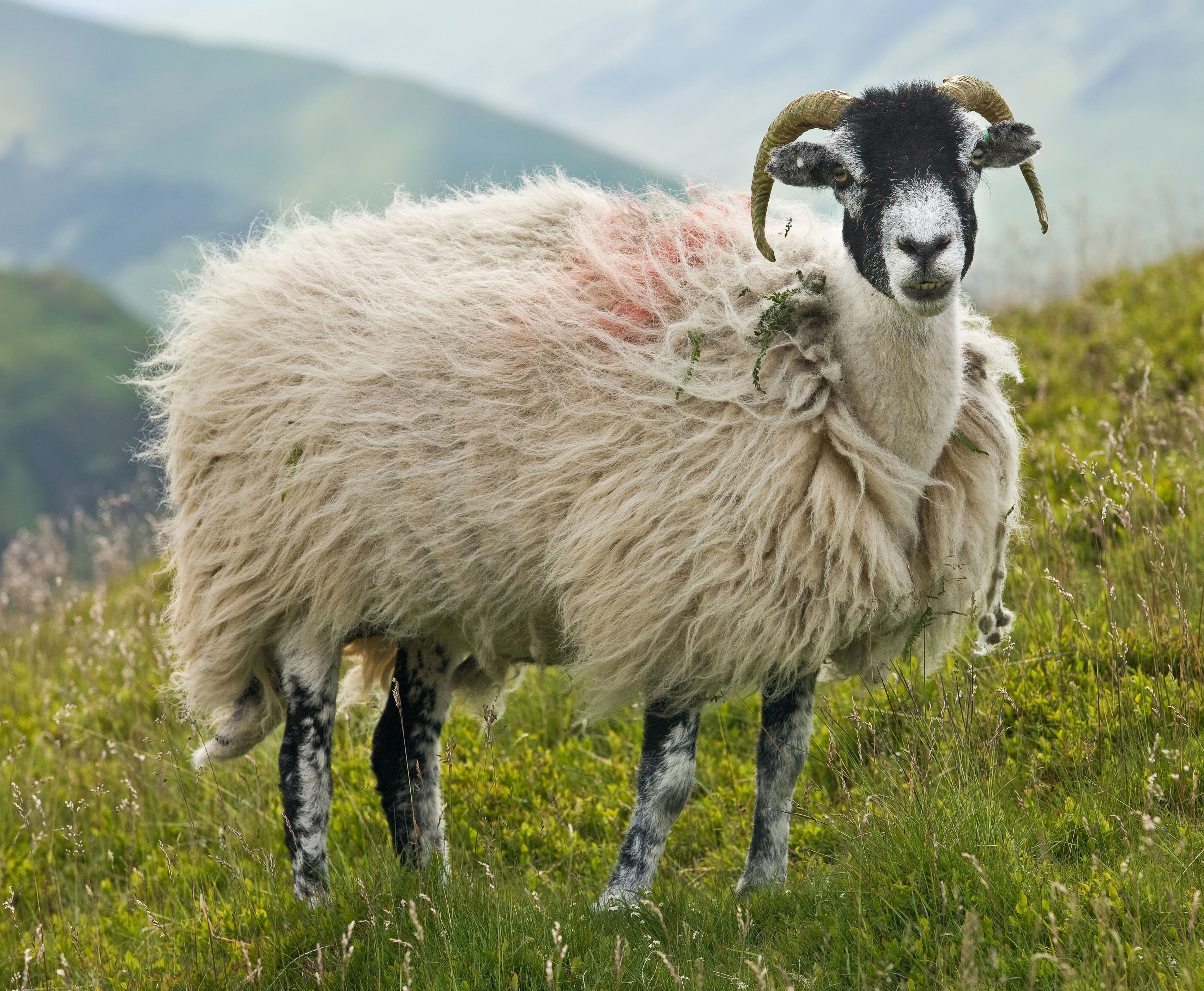 Sheep Download Free Backgrounds Hd