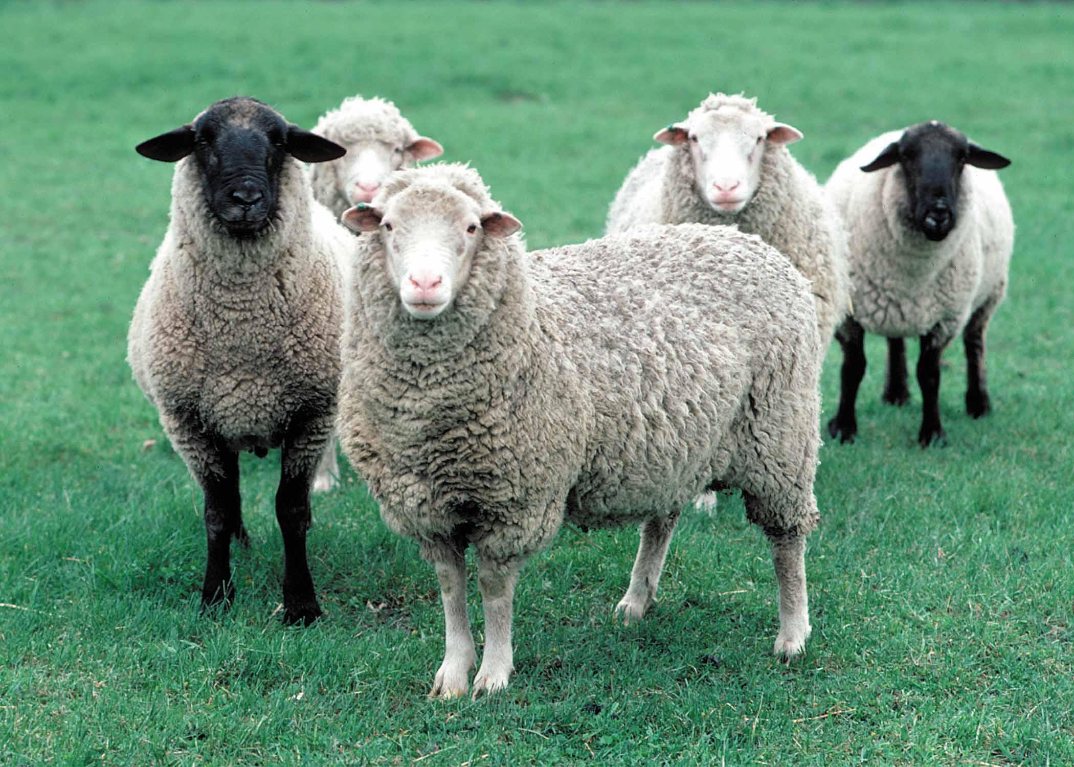 Sheep Download