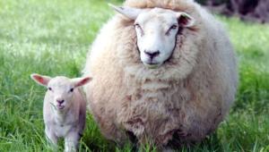 Sheep Hd Desktop