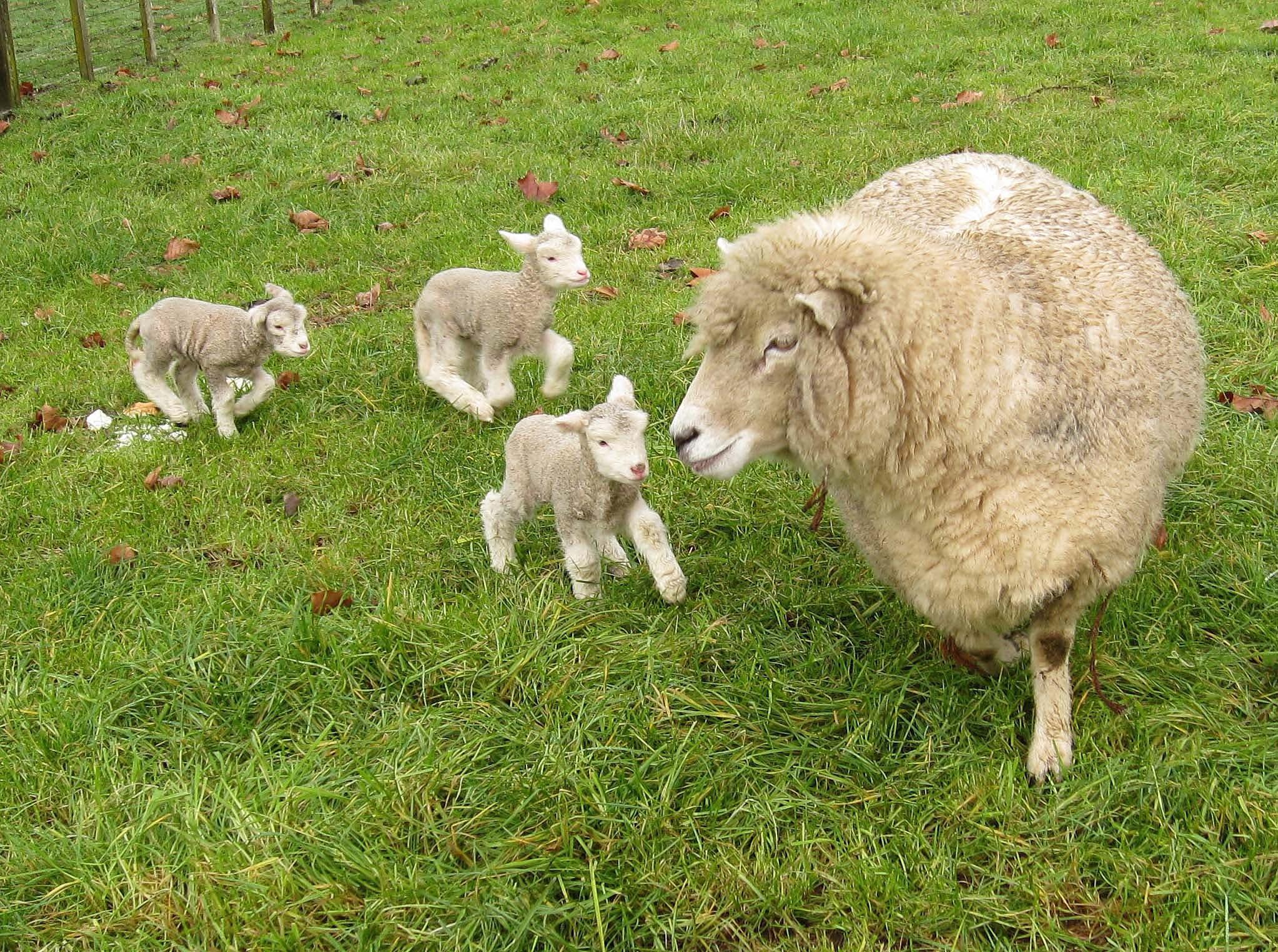 Sheep Hd