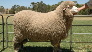 Sheep Photos