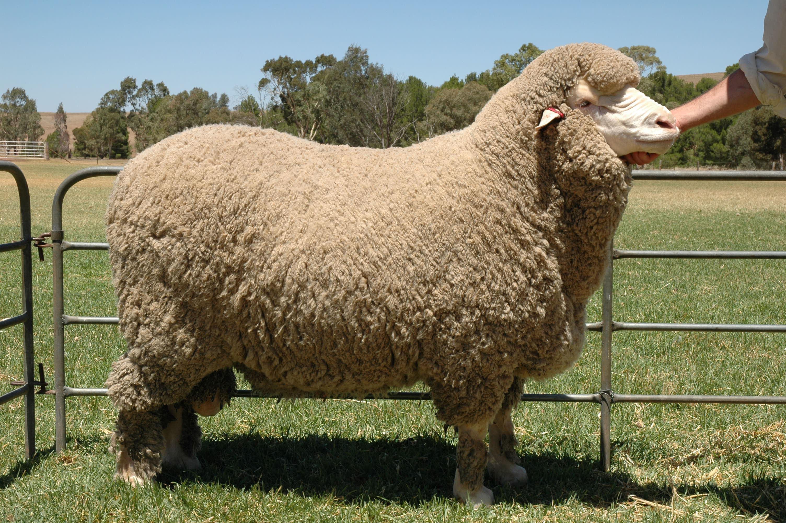 Sheep Photos
