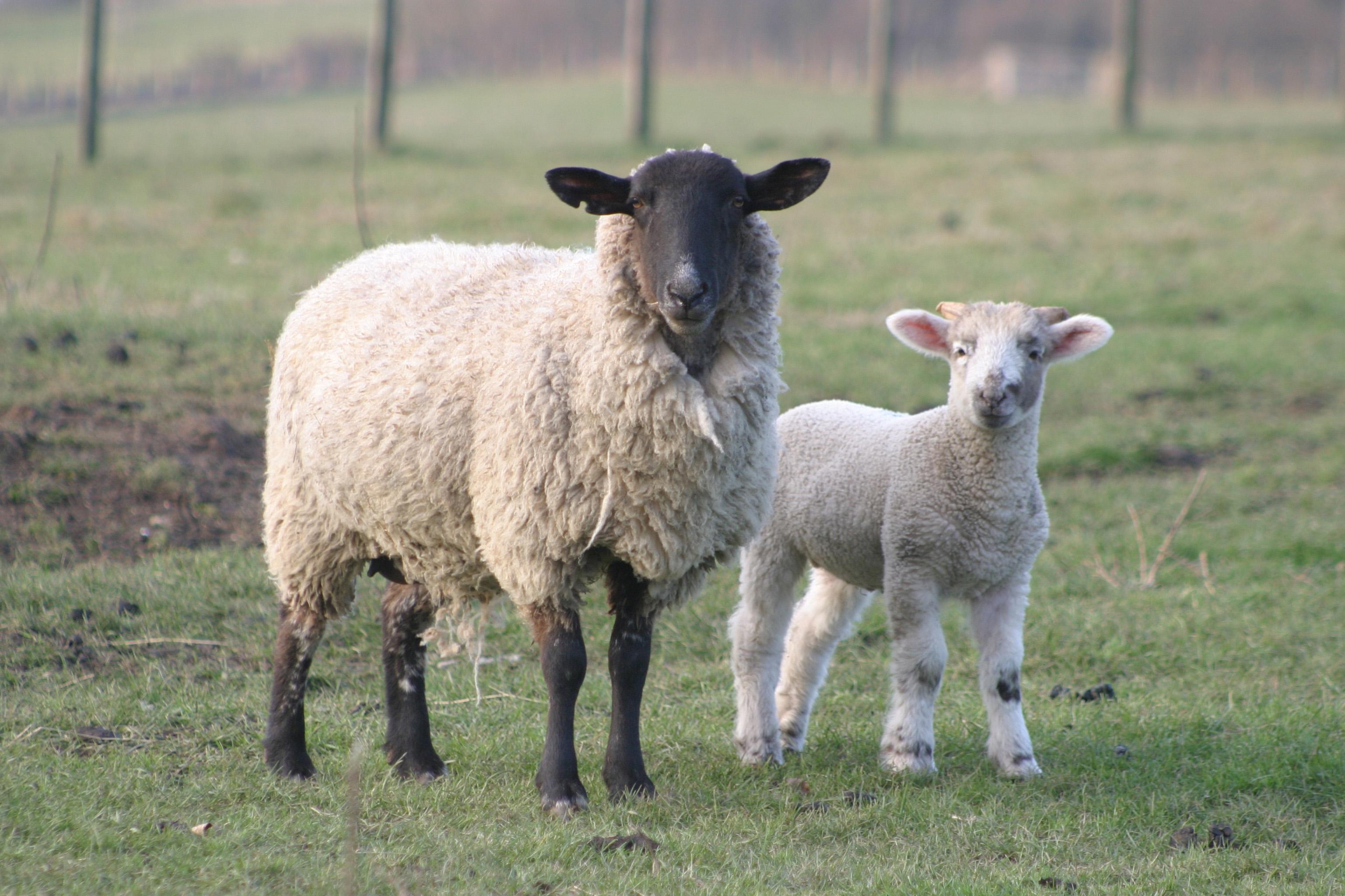 Sheep For Desktop Background