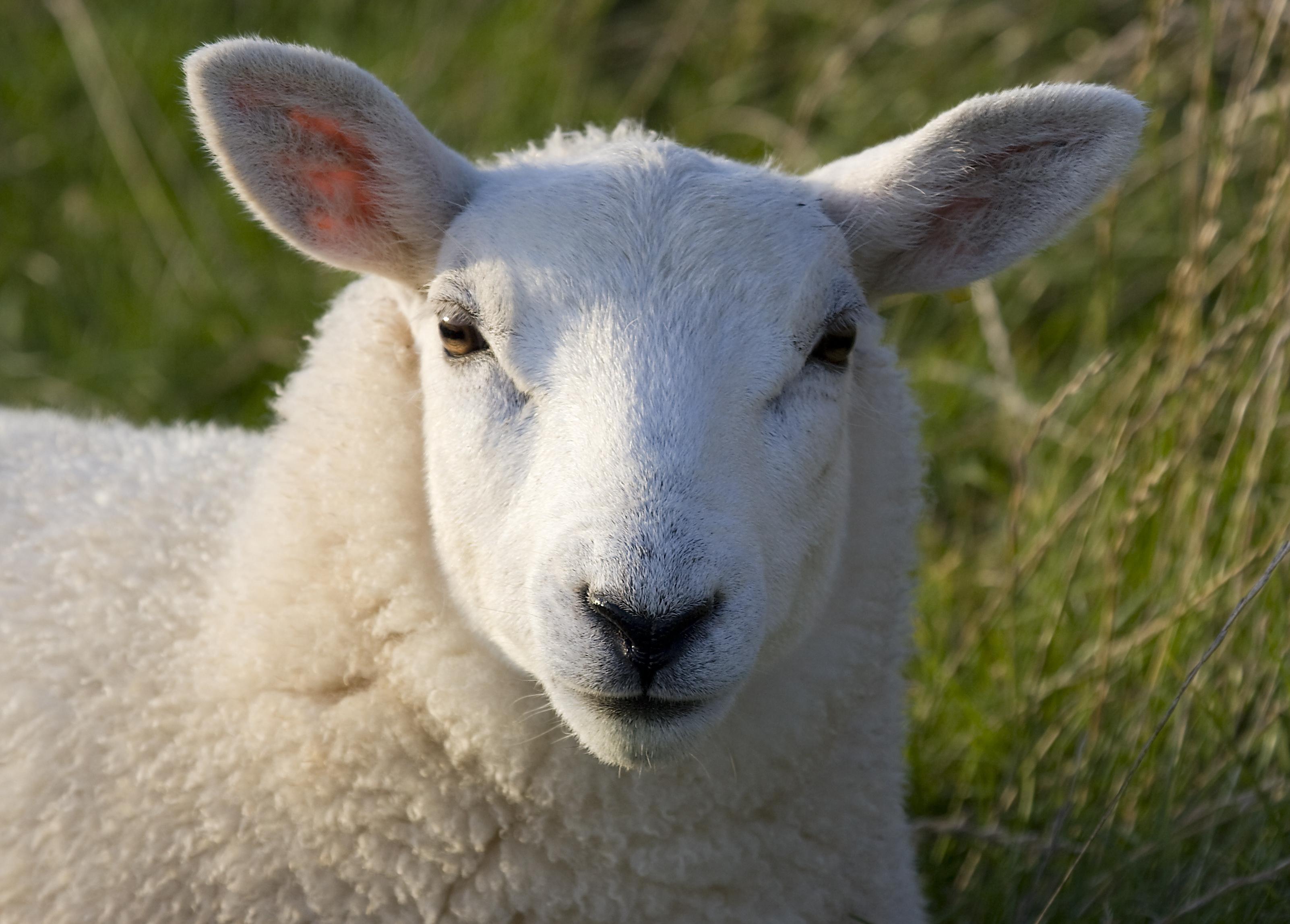 Sheep For Desktop