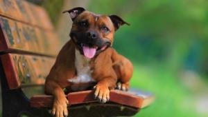 Staffordshire Bull Terrier 4k