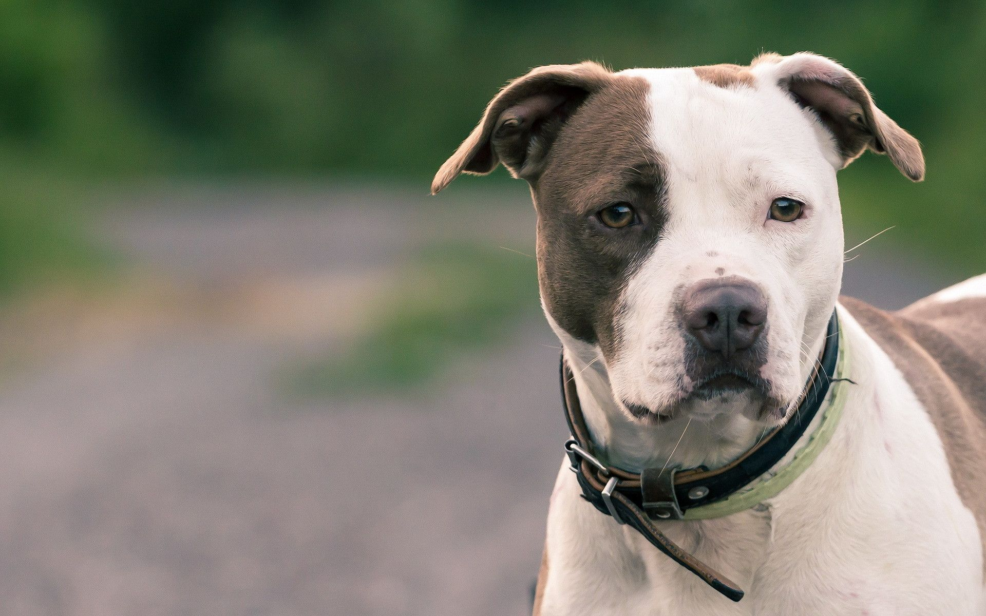 Staffordshire Bull Terrier Background