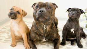 Staffordshire Bull Terrier Desktop