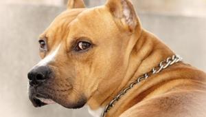 Staffordshire Bull Terrier Hd Desktop