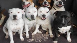 Staffordshire Bull Terrier Hd Wallpaper