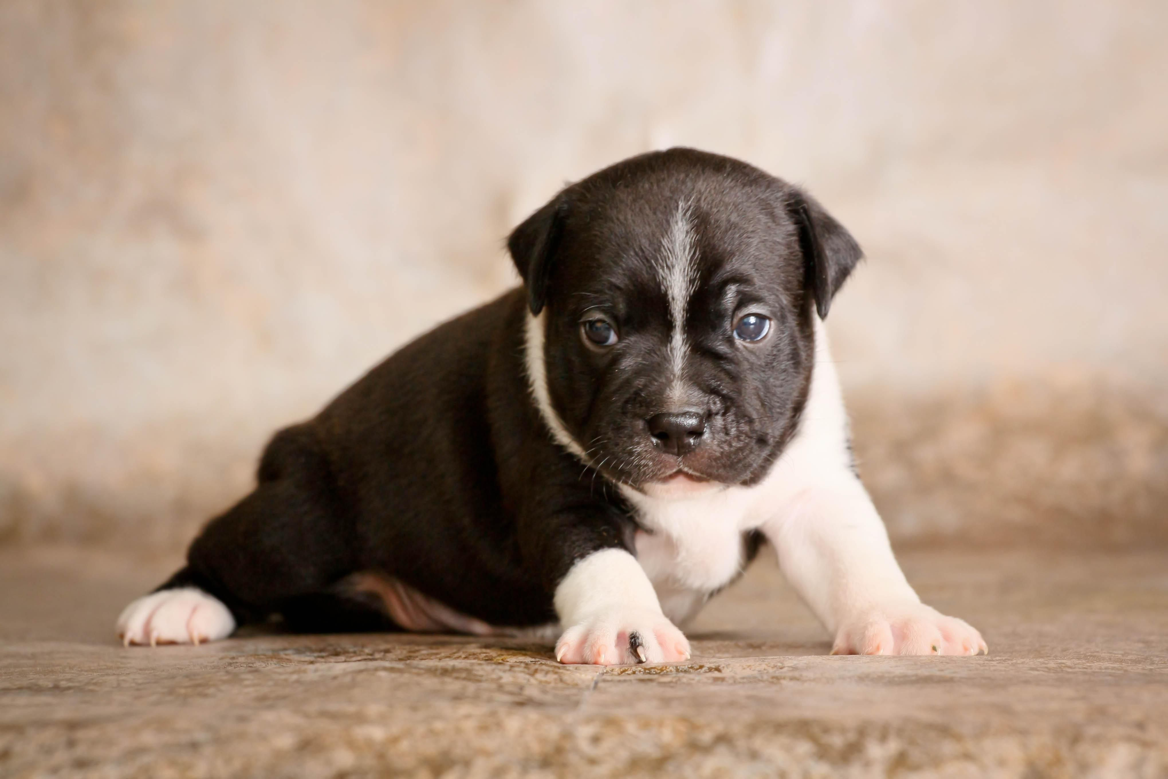 Staffordshire Bull Terrier Wallpapers Hd