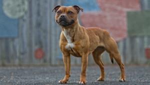 Staffordshire Bull Terrier For Desktop