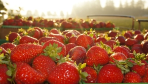Strawberry Desktop Images
