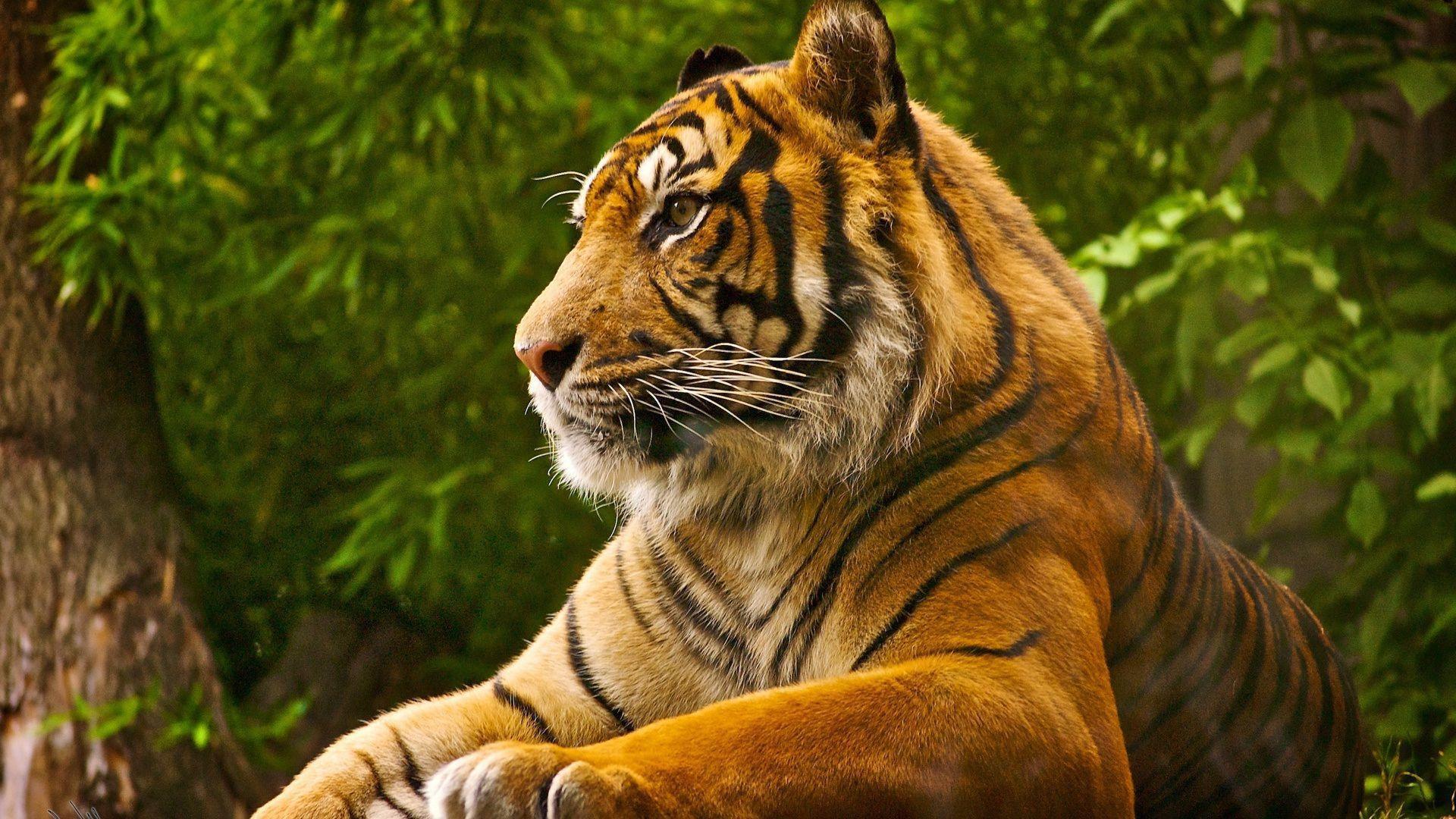 Sumatran Tiger Background