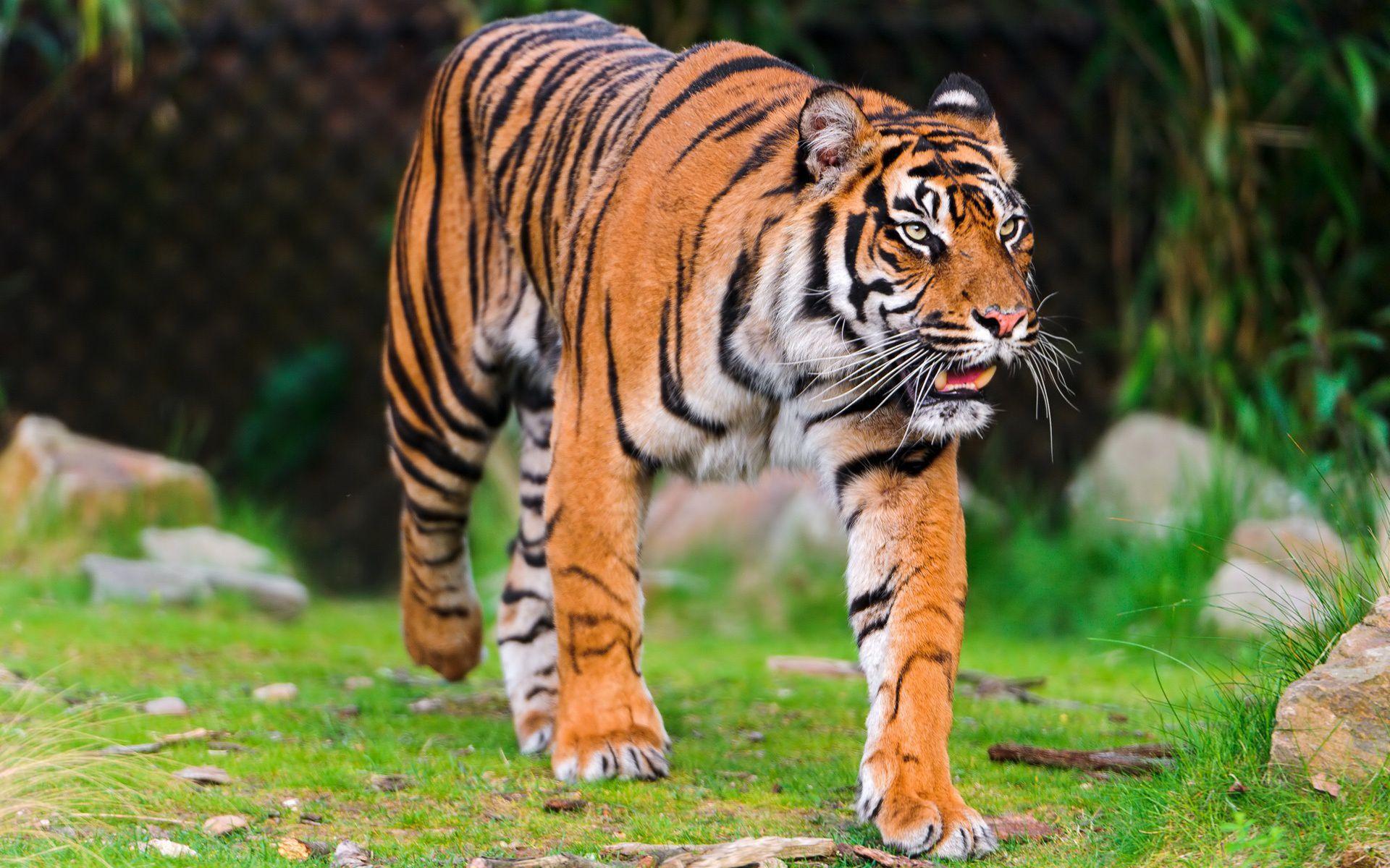 Sumatran Tiger High Definition
