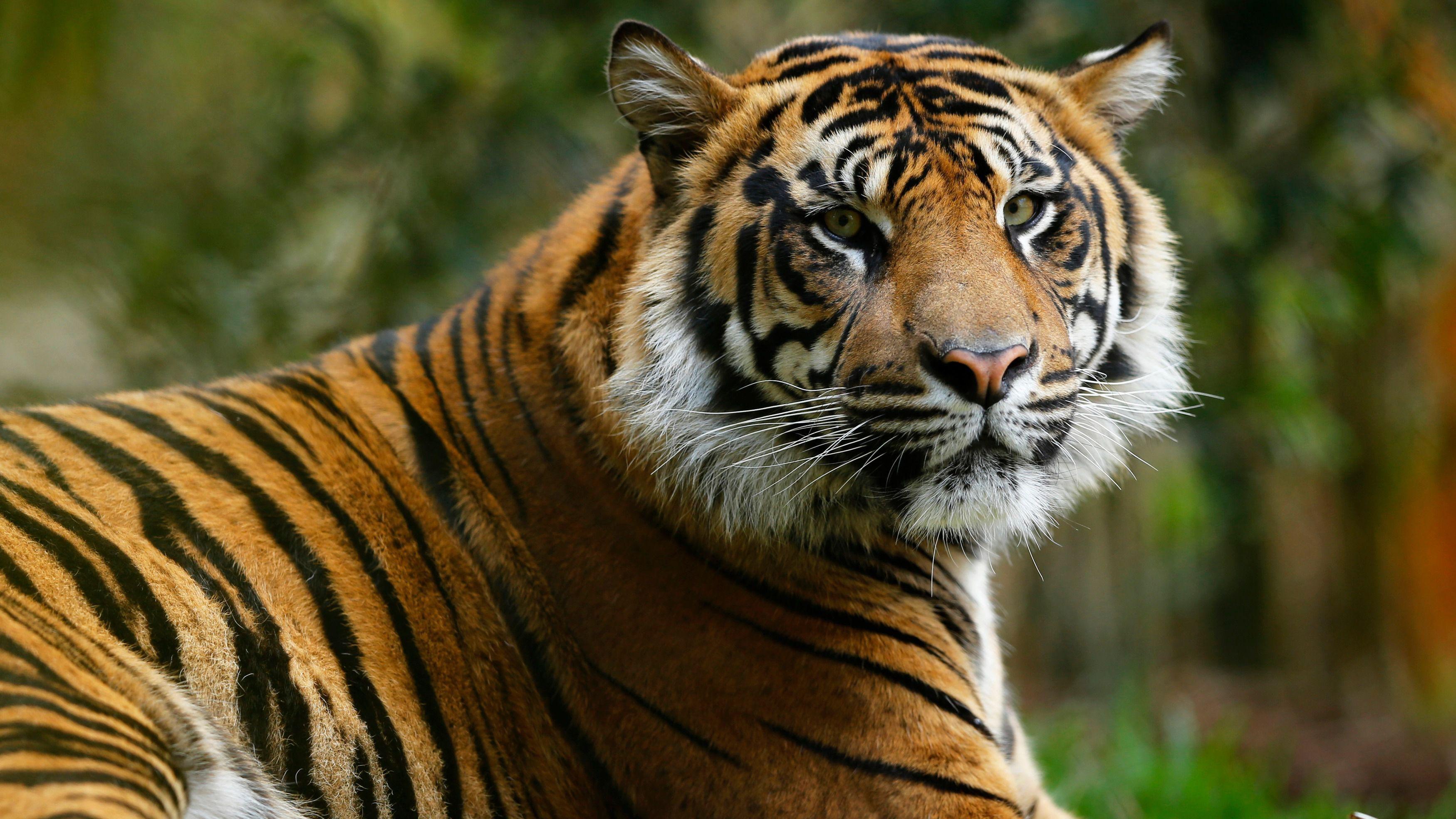 Sumatran Tiger Images