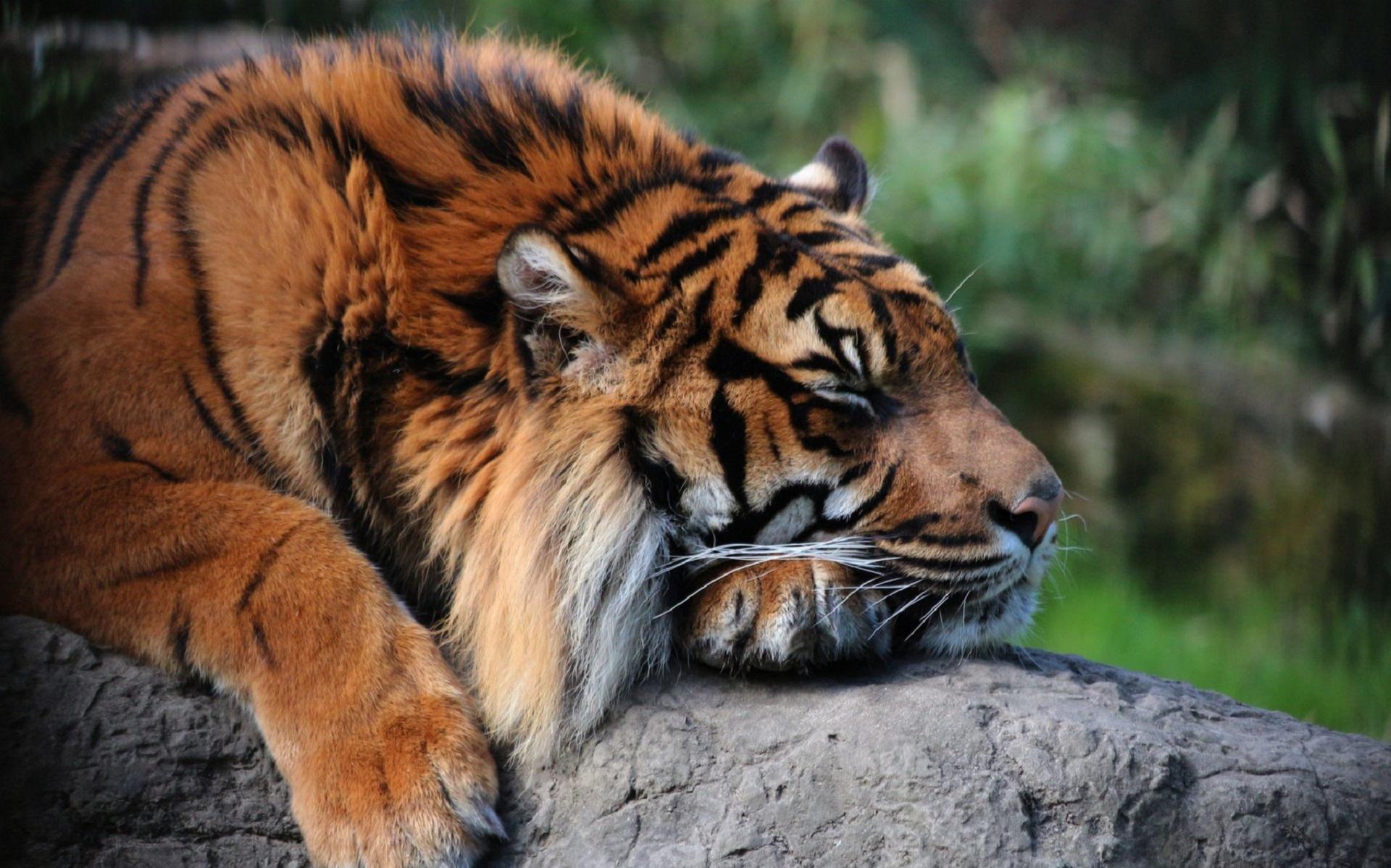 Sumatran Tiger Widescreen